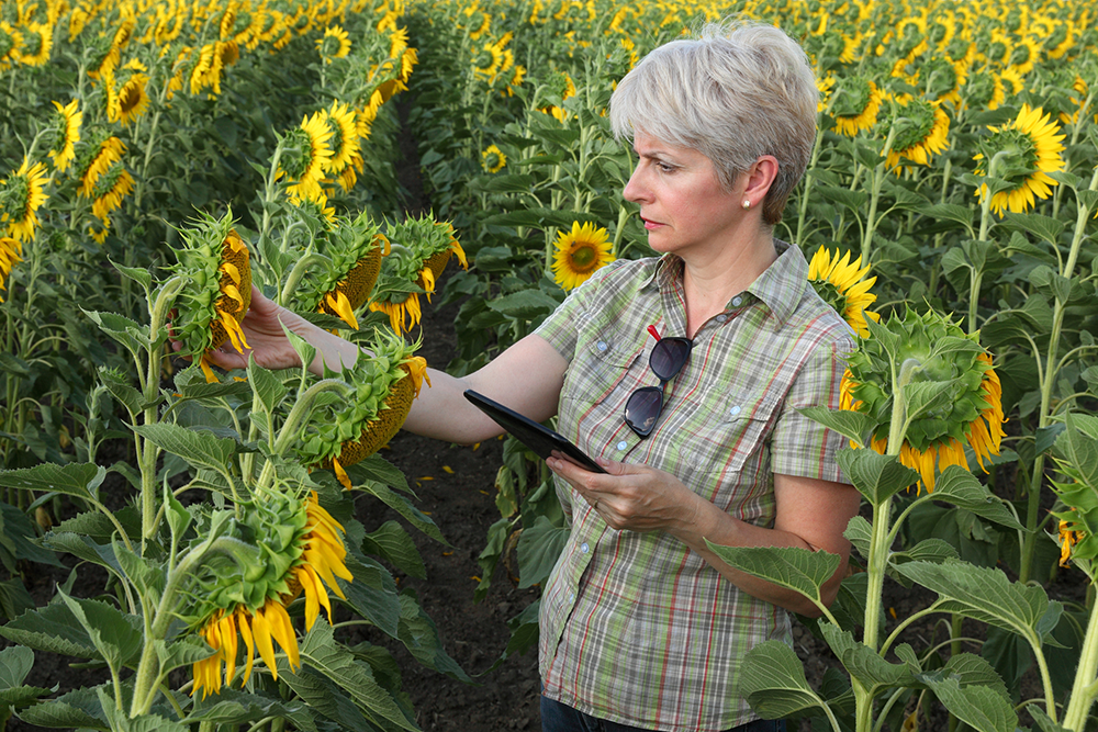 Scientist in sunflower field